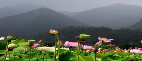 """河南栾川:""""荷韵飘香""""助力乡村旅游"""